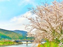 川沿い 桜